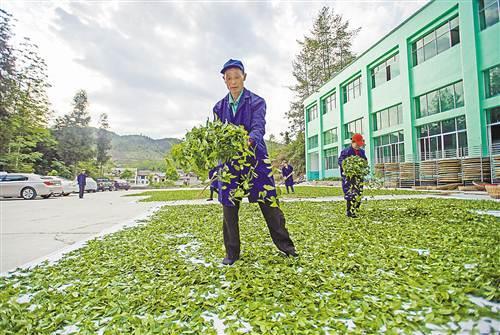 酉阳土家族苗族自治县木叶乡木叶村种植的3000余亩乌龙茶,正值采摘图片