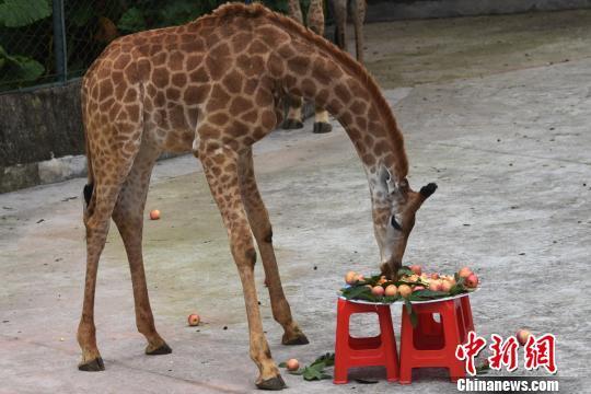 动物园工作人员和游客一起为小长颈鹿准备了别具一格的水果蛋糕 李木生 摄   中新网深圳5月20日电(郑小红 李木生)5月20日,网络语言中,520谐音我爱你。在这个有爱的日子里,深圳野生动物园非洲之角里的一只小长颈鹿迎来了1周岁生日。动物园为这只小长颈鹿举办了别开生面的520生日庆祝会,并正式为小长颈鹿取名小爱。  小长颈鹿欢快地品尝美味的蛋糕 李木生 摄   生日庆祝会上,除了动物园工作人员,还有众多关注小长颈鹿成长的游客朋友们。动物园工作人员和游客一起为小长颈鹿准备了别具一格的