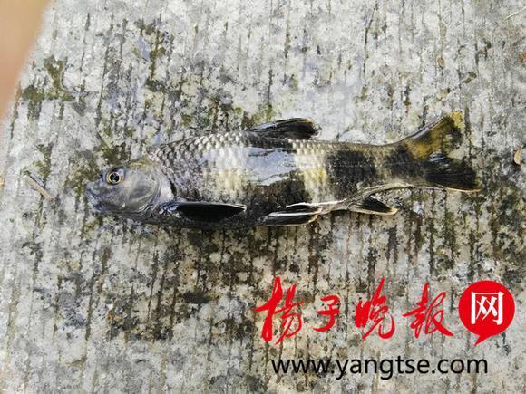 男子钓到怪鱼放生:身体圆形细长 通体有四道黑色横纹!