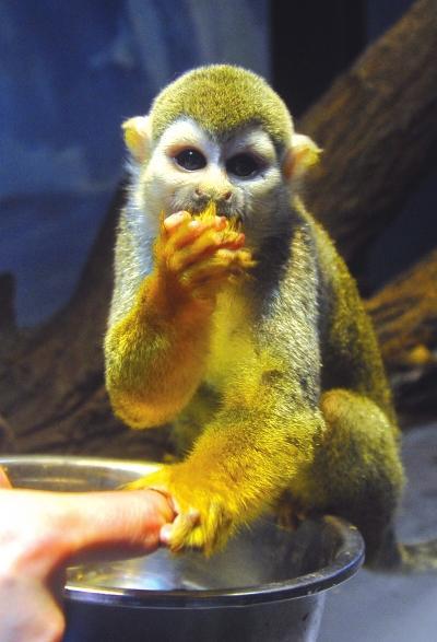 兰州晚报讯(首席记者于永昭文/图)5月21日,4只呆萌可爱的松鼠猴