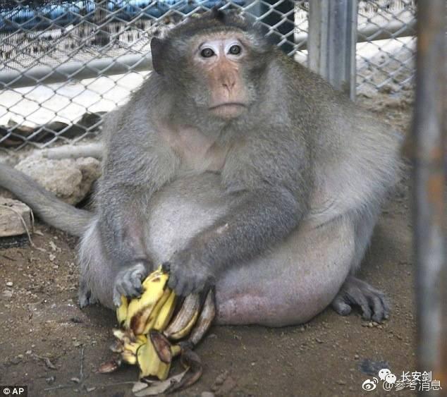 """泰国一家动物园有一只名叫""""胖叔叔""""的野生猴子"""