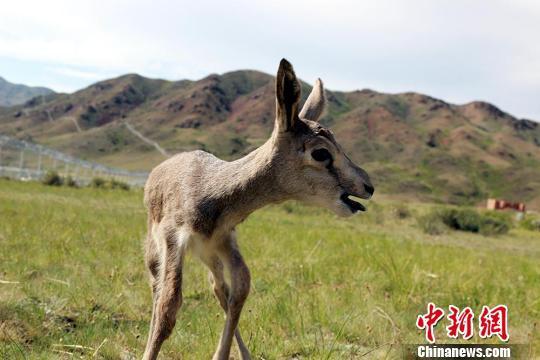 新疆阿勒泰边防官兵救助野生黄羊幼崽(图)