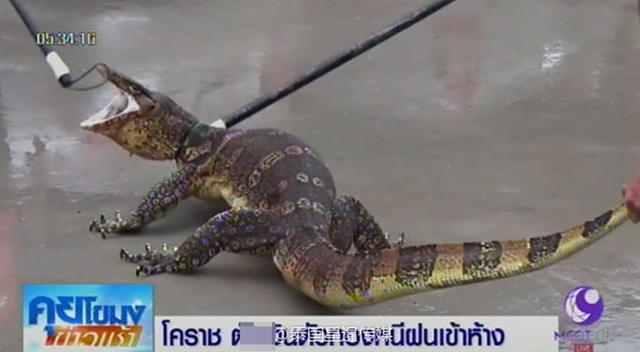 泰国暴雨后现多只巨型蜥蜴