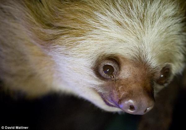 世界最长寿树懒在澳大利亚动物园去世