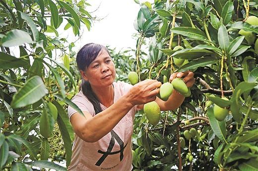 6月5日,田阳县那坡镇尚兴村群众正在选摘芒果. 本报记者 陈 强/摄