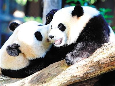 """西班牙马德里动物园12日为刚出生的大熊猫起名为""""竹莉娜""""(c."""