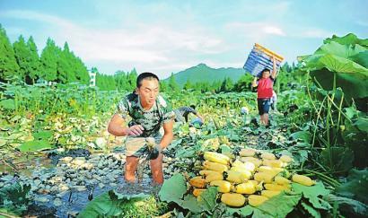 8月4日,营山县星火镇星火村莲藕基地,职业挖藕人正在田里挖藕.