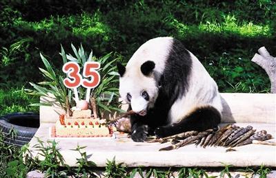 """昨天上午,重庆动物园大熊猫馆,35岁的""""新星""""正在吃生日大餐."""