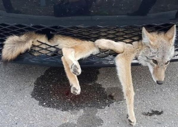 加拿大狐狸藏匿汽车保险杠搭顺风车