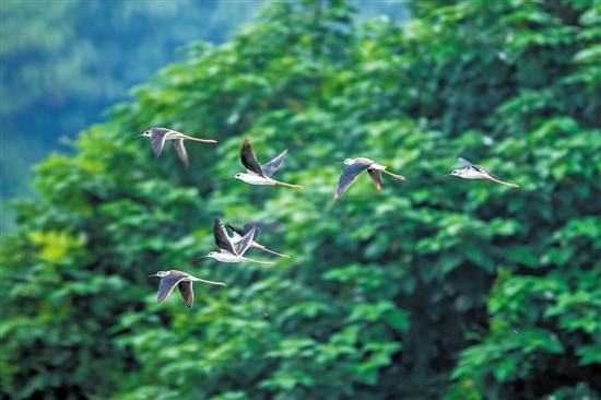 诛仙单职业传奇海珠湿地迎来首批候鸟长腿仙子引来众多拍客