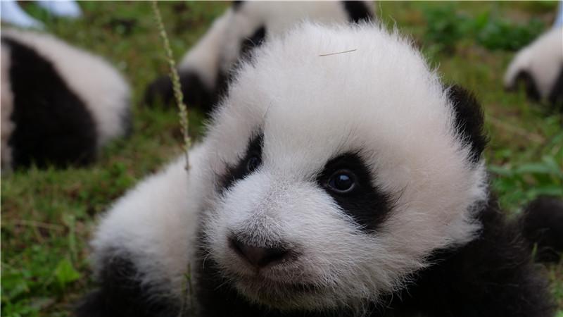 萌图来袭 36只2017新生大熊猫宝宝亮相雅安,卧龙
