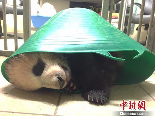成都旅法大熊猫圆梦在法首次亮相_民众热情高