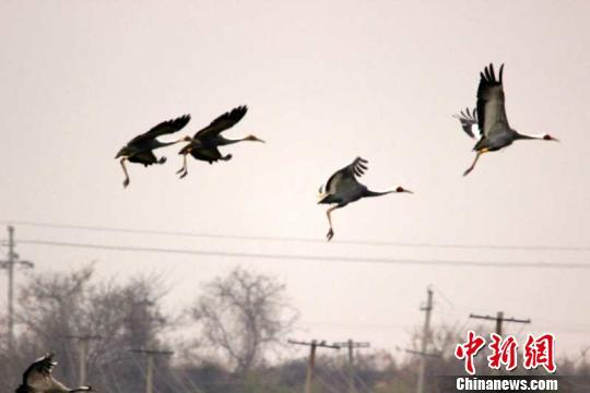 离群的鹤图片