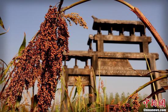中央农办:高粱反倾销调查是保护中国农民利益