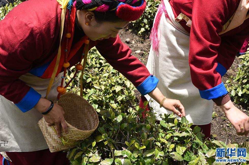 村民在勒乡茶园采茶(5月12日 摄)。新华网记者 陈琳 摄