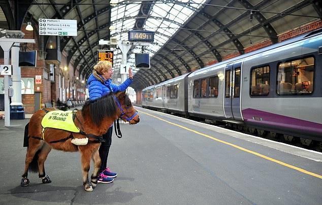 英国第一匹导盲马正接受训练 将开始正式工作