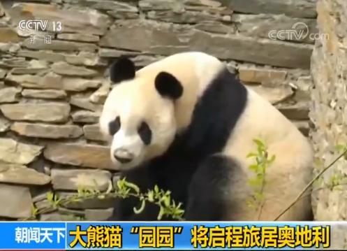 """优博国际:大熊猫""""园园""""将启程旅居奥地利"""