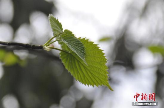 资料图:国家一级野生保护植物珙桐。 朱启丹 摄