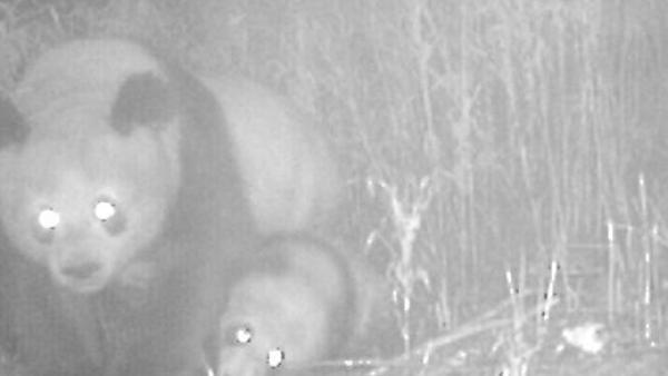 四川拍到野外大熊猫母子同框珍贵瞬间