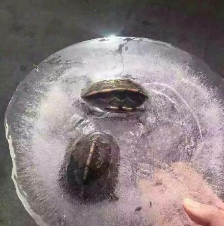 寒潮来袭乌龟竟结冰被冻住_新闻频道_中国青年网