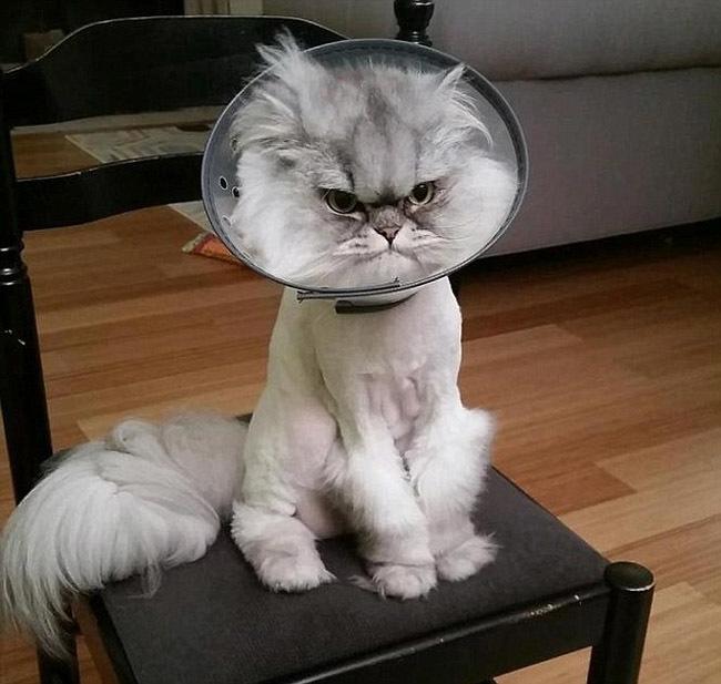手术后小猫表情郁闷