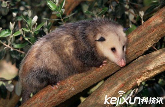 3.北美负鼠(7000万年)   北美唯一的有袋类动物是可爱的泰迪熊和褐鼠的杂交物种。它们属于地球上最古老的哺乳动物,其化石记录的时间可追溯到7000万年前。长久以来,北美负鼠一直保持着其基本的生活方式。它们和袋鼠一样,利用身上牢固的育儿袋携带幼崽,如果偶尔有车辆将母亲撞倒,育儿袋中的幼崽仍能安然无恙。其育儿袋还具有防水功能,在母亲游泳的时候,袋中那蜜蜂大小的幼崽仍能保持干燥。   在危急时刻,北美负鼠是出了名地会装死,然而无人知晓它们究竟何时学会这一招的,不过它们装死的技能确实令人佩服。当北美负
