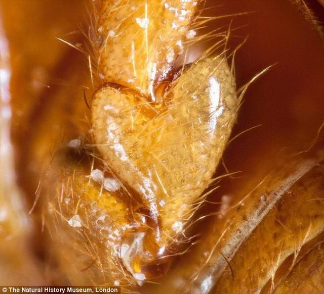 科学家最新发现一种奇特甲虫,腿部长着心形状骨骼结构.