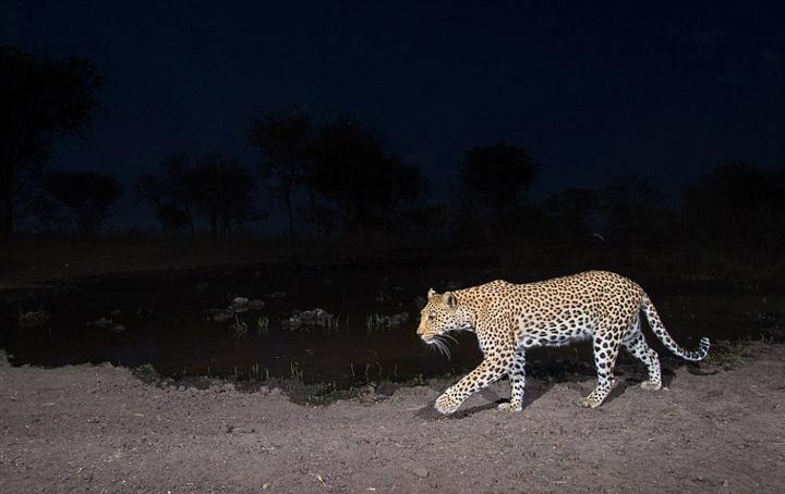 这次有很多大型猫科动物仍然没有现身
