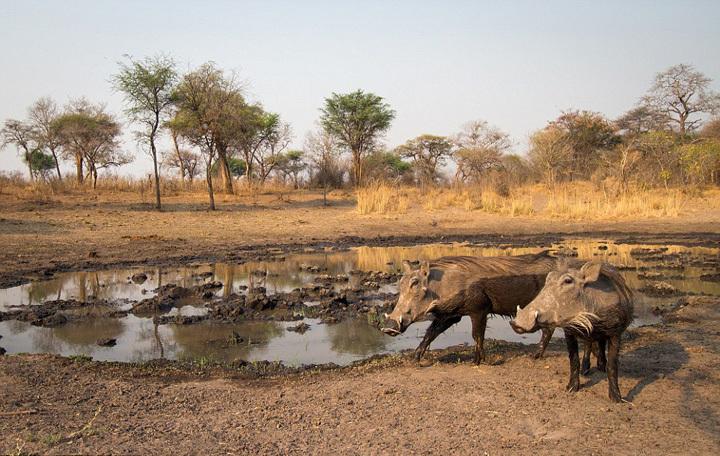 大象喝水矢量图