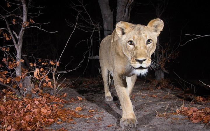 相机陷阱近距离拍非洲野生动物:狮子最难拍到