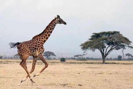 栖息地减少和疯狂猎杀 长颈鹿竟然也濒临灭绝