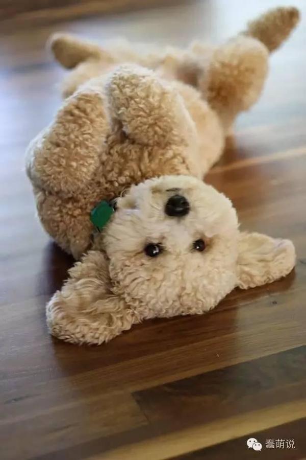 比熊还像熊!世界上最萌最可爱的20只小狗