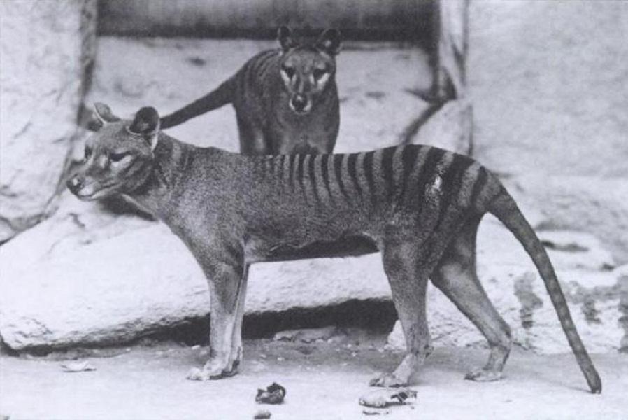 袋狼(也被称为塔斯马尼亚虎)是这个名单中唯一的有袋类动物。它或许与你能够想象到的任何一只有袋动物都不相同。它们曾经生活在澳大利亚、塔斯马尼亚岛和新几内亚,到20世纪60年代它们就已经灭绝,但是袋獾可能携带着它们的部分基因。