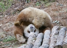 """棕色熊猫见雪变""""雪花熊"""""""