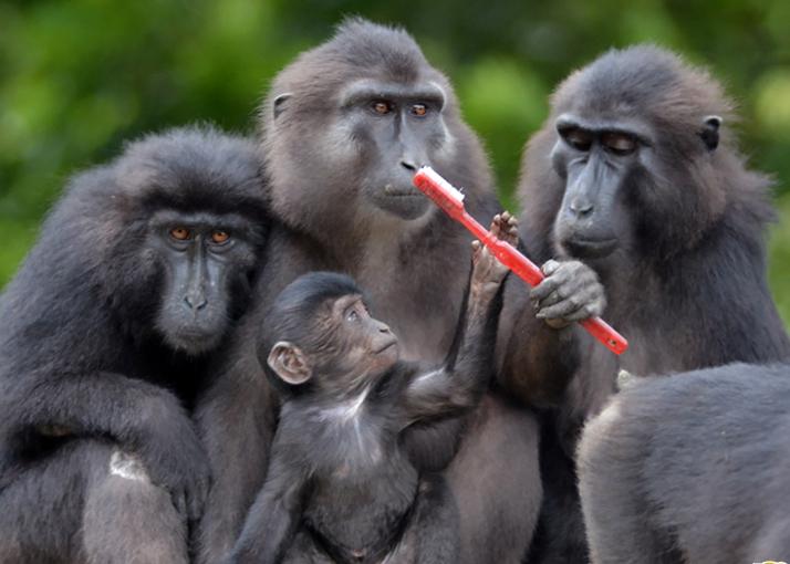 濒危黑猩猩手拿牙刷卖萌