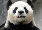 熊猫咬饲养员致重伤
