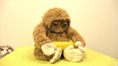 猫咪卖力扮小猴 吃香蕉卖萌超可爱
