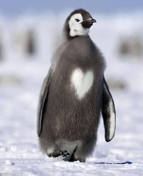一只可爱企鹅的胸部有一块心形的白色皮毛
