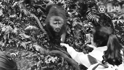 剧情逆转!峨眉山猴子抢手机竟是自导自演(图)