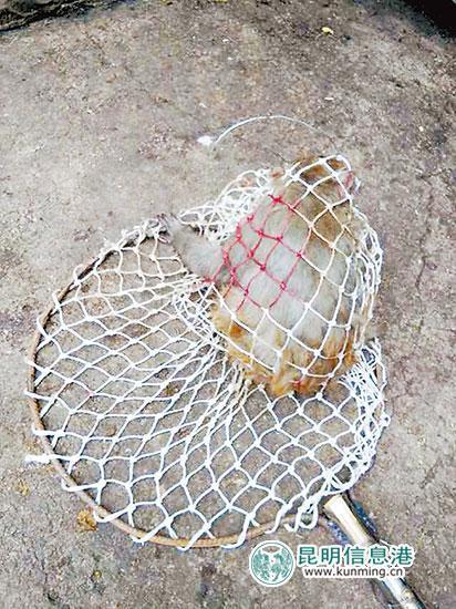 昆明动物园猴子集体出逃 最后1只2个多月后被捕
