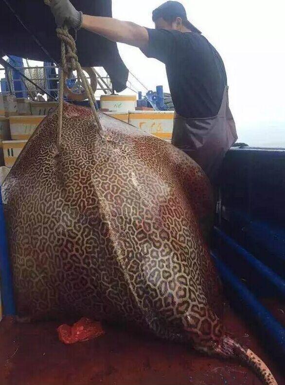 """渔民捕获300斤有毒""""水怪"""" 浑身长满性感豹纹"""