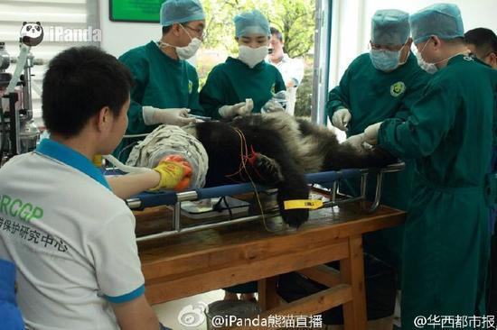 四川雅安野生大熊猫疑遭猛兽攻击受伤死亡