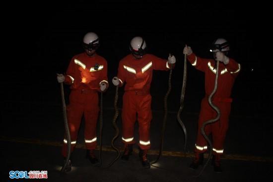 四川乐山消防擒5条2米长大蛇 要放生别处又有(图)