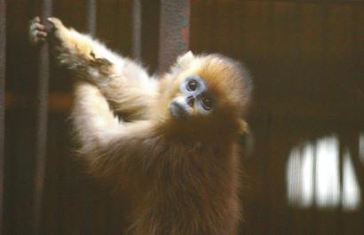 小熊猫金丝猴遭盗猎:7名被告判刑 4人被处10年以上【图】