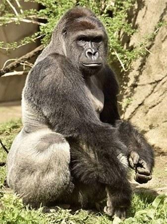 美国一猩猩把幼狮当成自己孩子