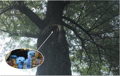 颐和园二级保护动物鹰鸮失踪 偷盗者可获刑10年