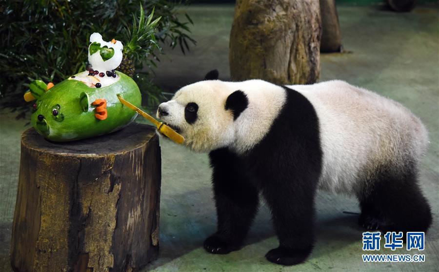 西瓜子熊猫粘贴画-大熊猫 圆仔 3岁生日 台北动物园网络直播庆生