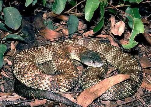 女孩被竹叶青咬伤 揭秘世界十大最恐怖毒蛇