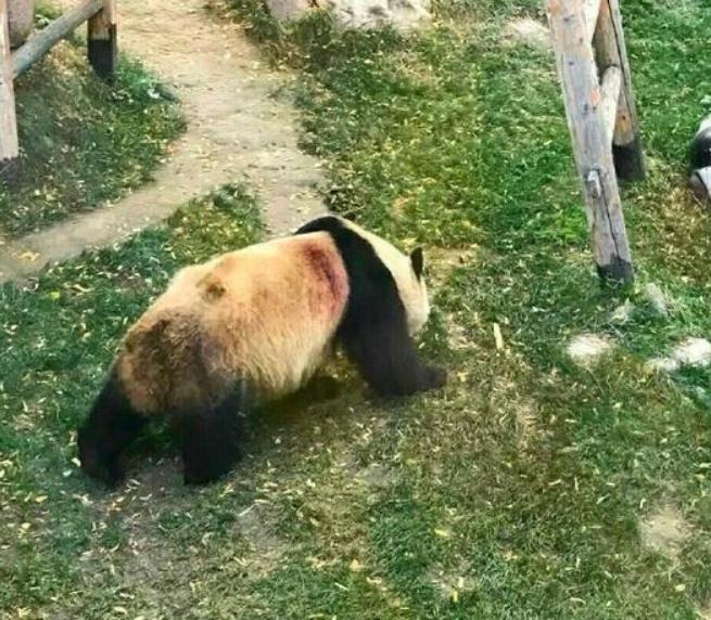 兰州动物园回应虐待熊猫 系蹭痒划伤被误解【图】