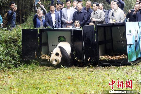 """大熊猫""""华妍""""""""张梦""""放归自然(图)"""